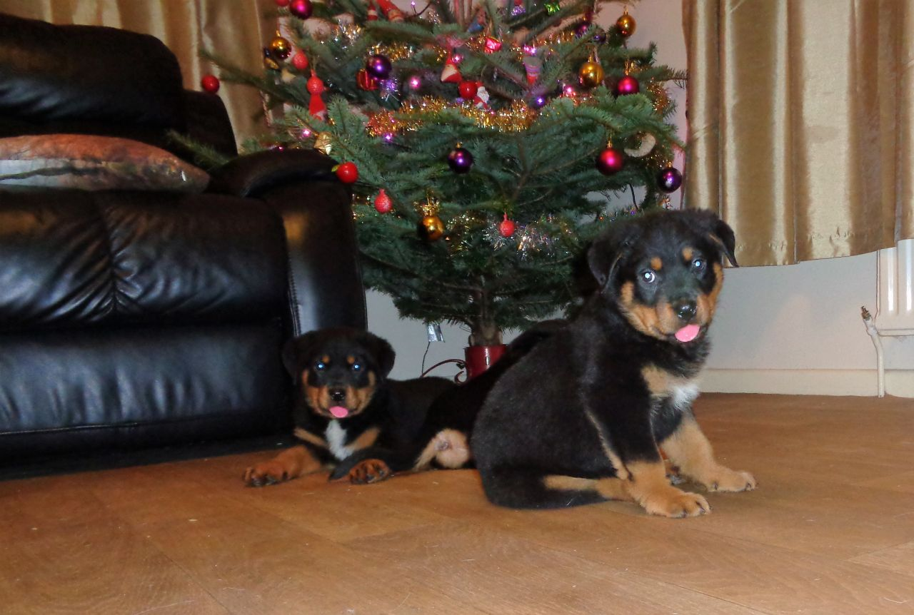 Gorgeous Chunky Rottweiler Puppies for Sale