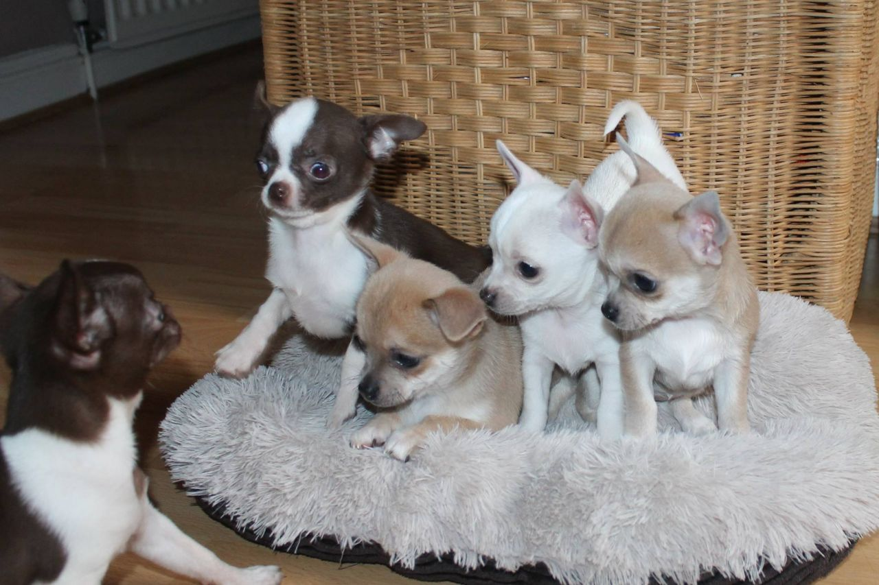 Pure White Chihuahua And Blue Fawn Boys For Sale