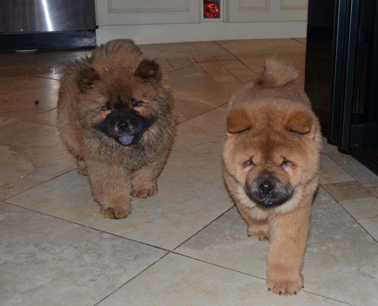 Quality Chow Chow Pups