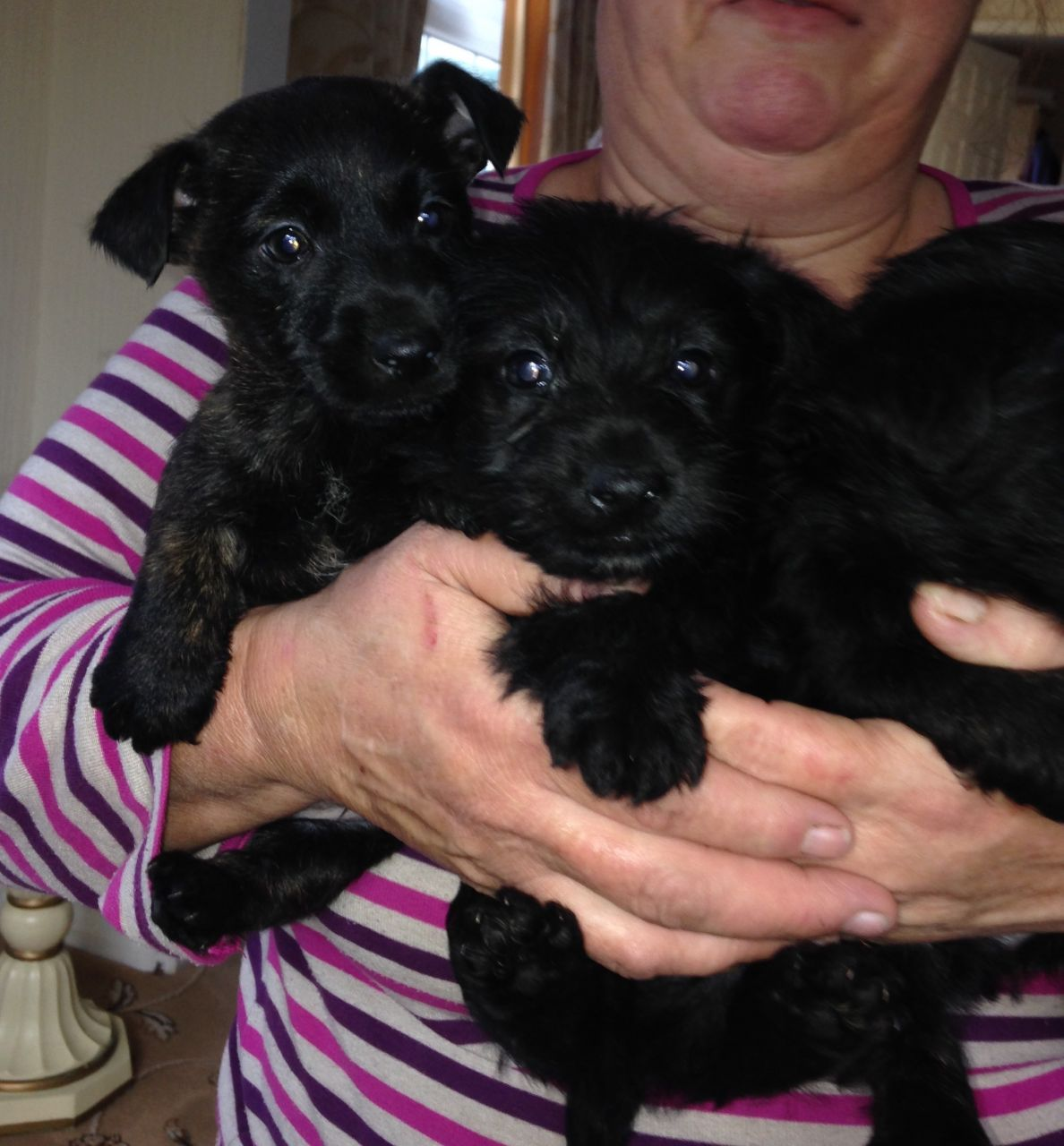 Scottish Terrier 2 Boys 2 Girls Puppies for Sale