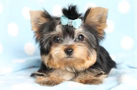 Sweet Yorkie puppies ready now