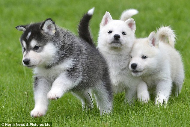 male and female HUSKY  for sale