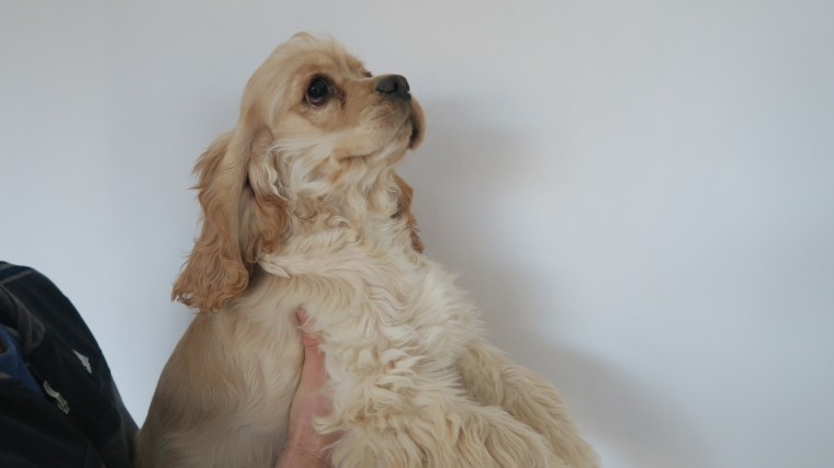 Lovely American Cocker Spaniels For Sale!