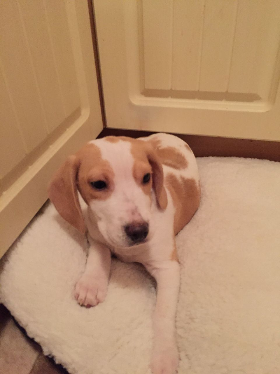 4 Wonderful Beagles Puppies For Sale