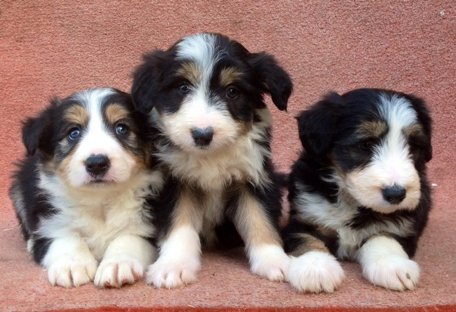 Working Bearded Collie Puppies For Sale