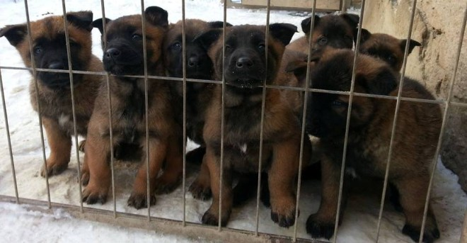 Quality Malinois Pups