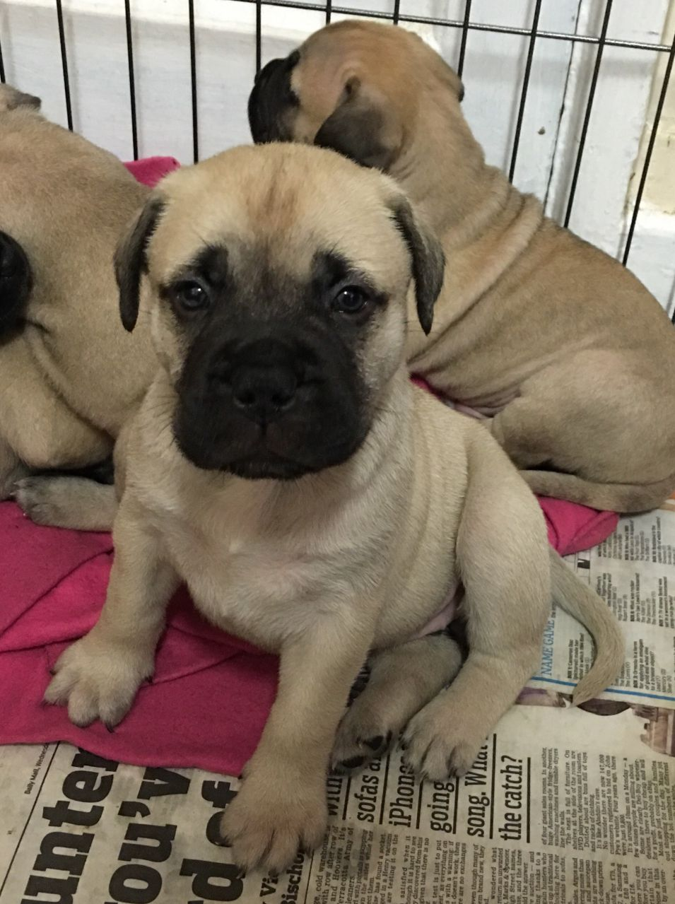 Quality  Bullmastiff Puppies