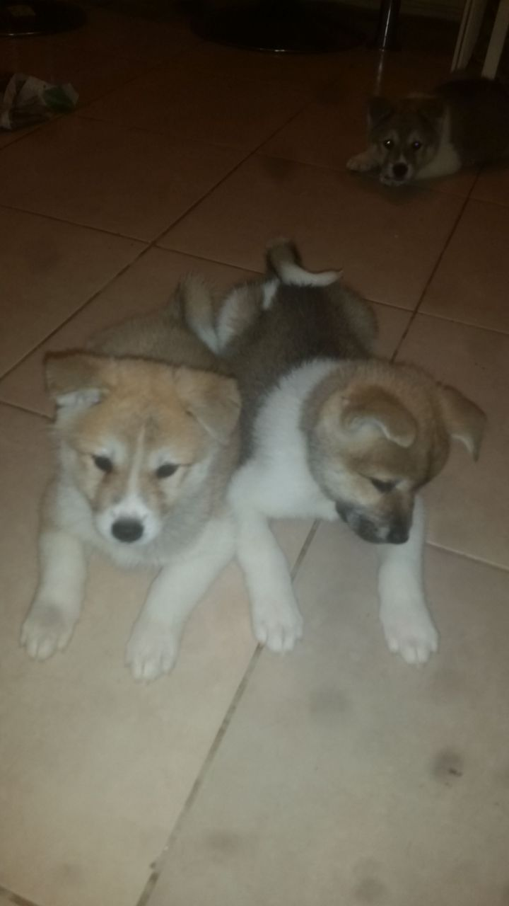 Beautiful Akita Puppies
