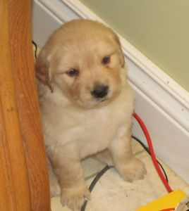 Purebred Golden Retriever Male Puppies ~ Family Raised