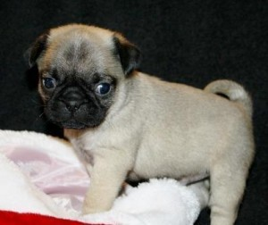 i have male pug puppies for sale