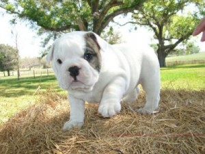 Extremely cute bulldog puppy available for adoption