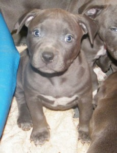 American Pit Bull Puppies For Adoption