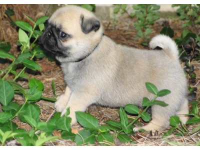 Registered dewormed Pug Puppies