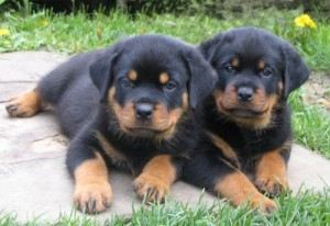 Rottweiler puppies Male and female.