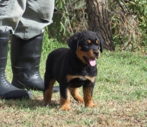 Healthy Rottweiler Puppies For adoption