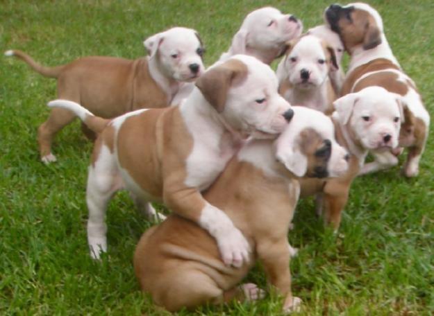 AKC registered AMERICAN-BULLDOG-PUPPIES for re homing asap