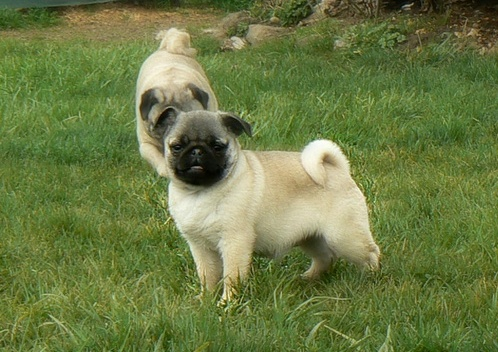 pug pupies for adoption