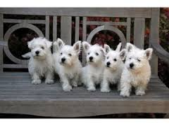 Beautiful West Highland White Puppies