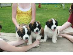 Gorgeous St Bernard Pups
