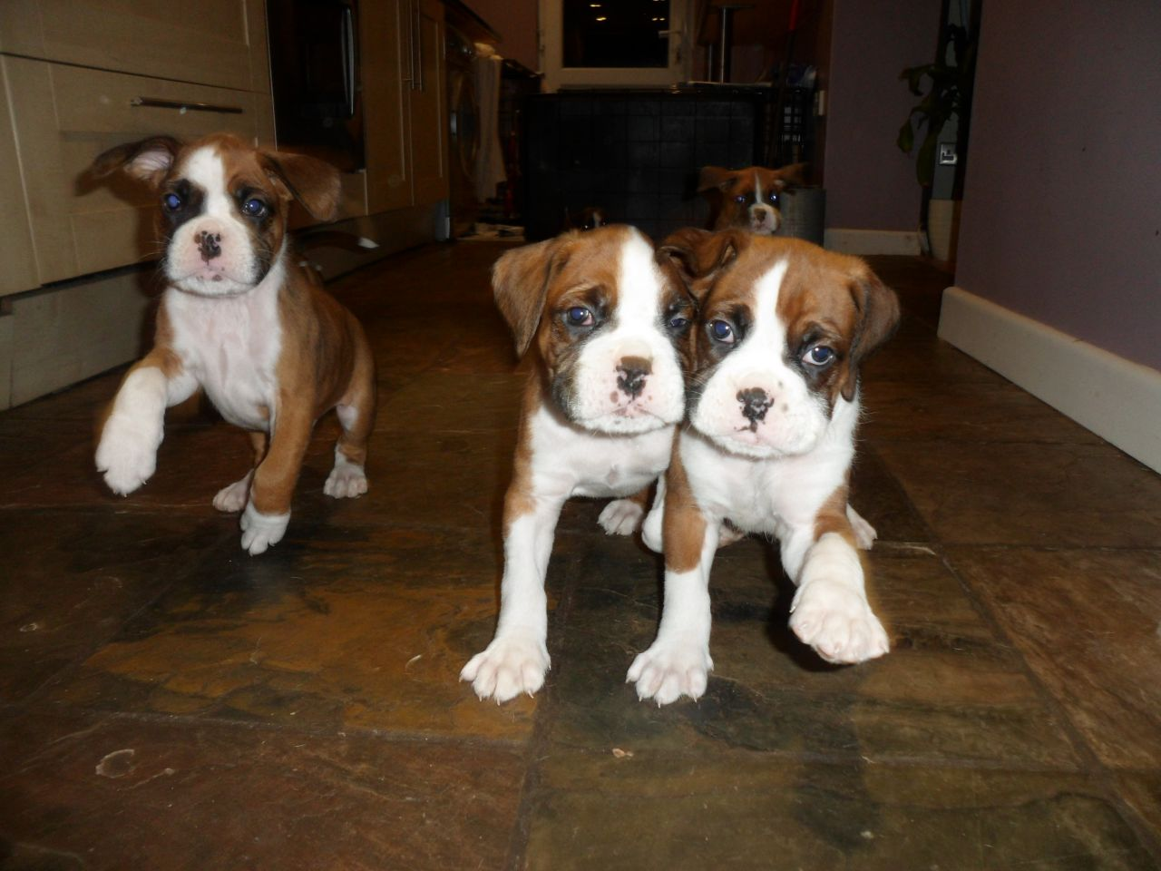 Stunning Boxer Puppies Kc Reg. Ready Now Flashy boxer pups available now. Pups have been vet checked, have first full va