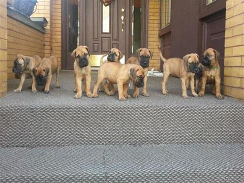 Chunky Bullmastiffs Puppies For Sale.