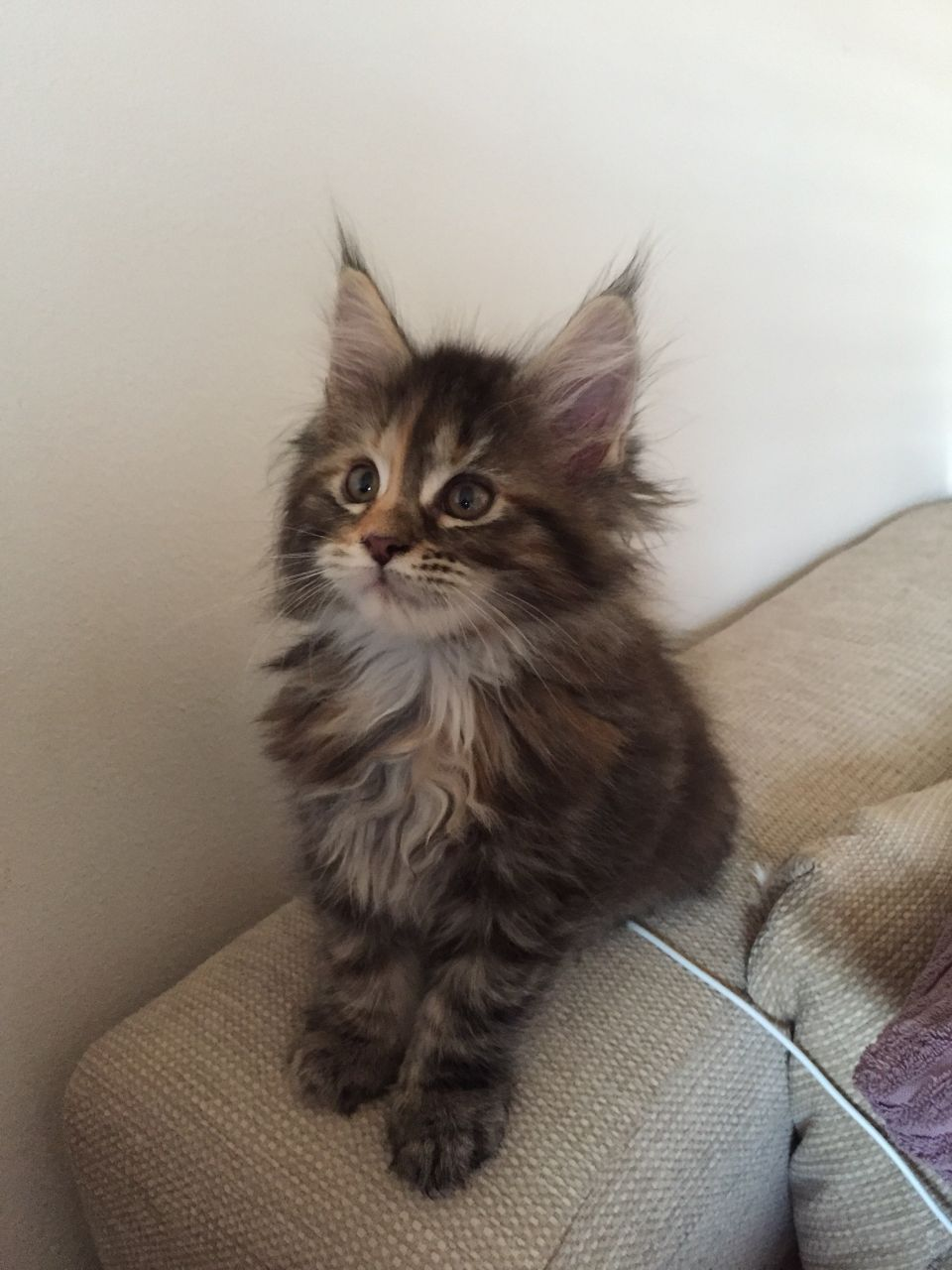 cats maine coon for sale  maine coon breeders hong kong  buy maine coon breeders  maine coon