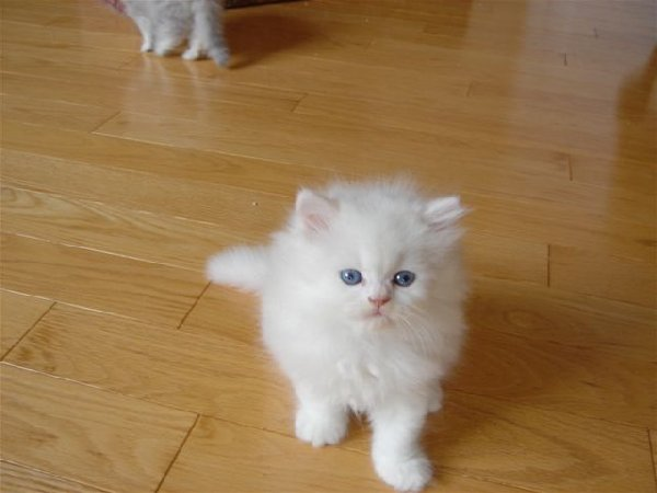 Pedigree Persian Kitten For Sale