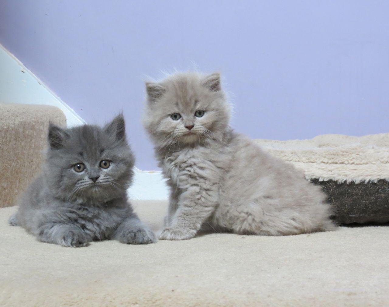 Grey Scottish Fold Cat For Sale