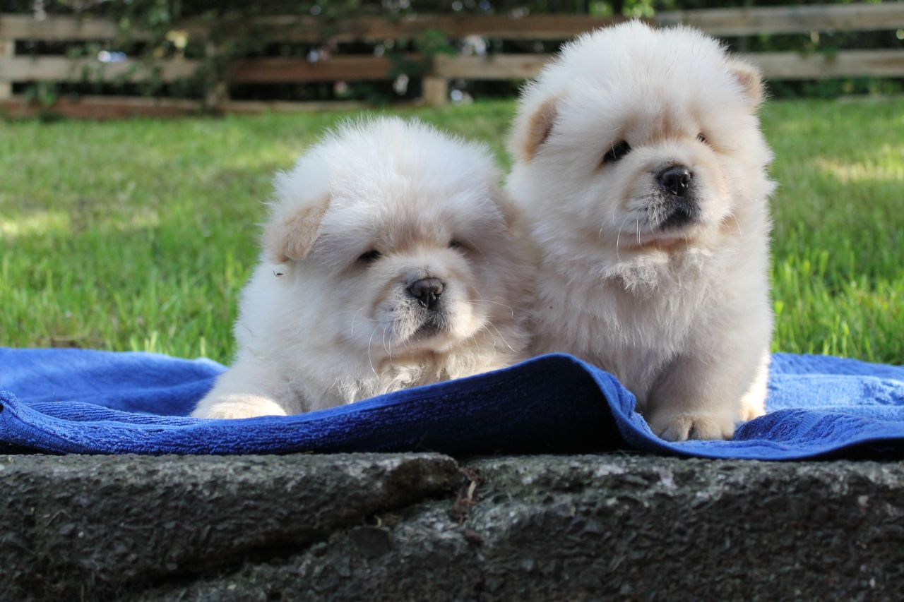 Pure Breed Chow Chow Puppies