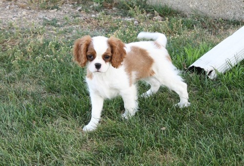 Cavalier King Charles Spaniel puppies now available.