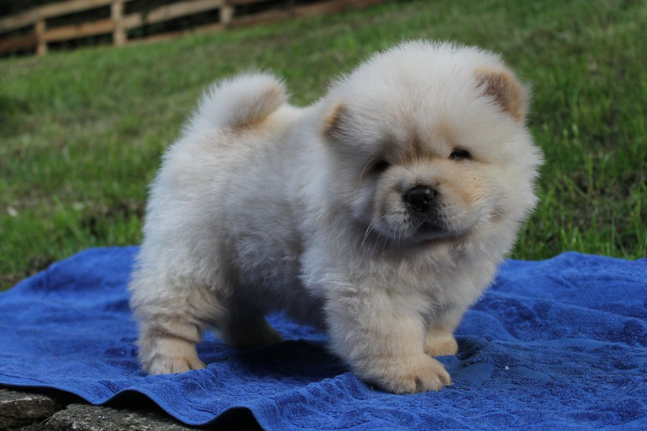 beautiful chow chow