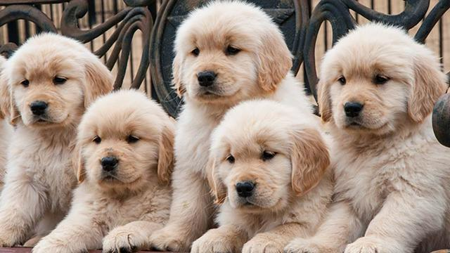 AKC Golden Retriever puppies for sale.