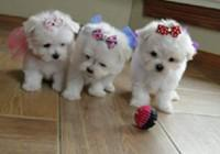 2 Maltese puppies for adoption.