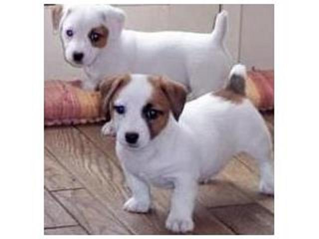 ADORABLE Parsons Jack Russell Terrier Puppies for sale.