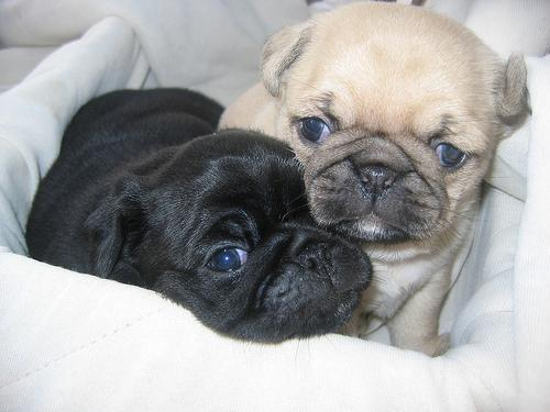 Charming Pug Puppies Available FOR FREE!!!!!!!!!!!!!