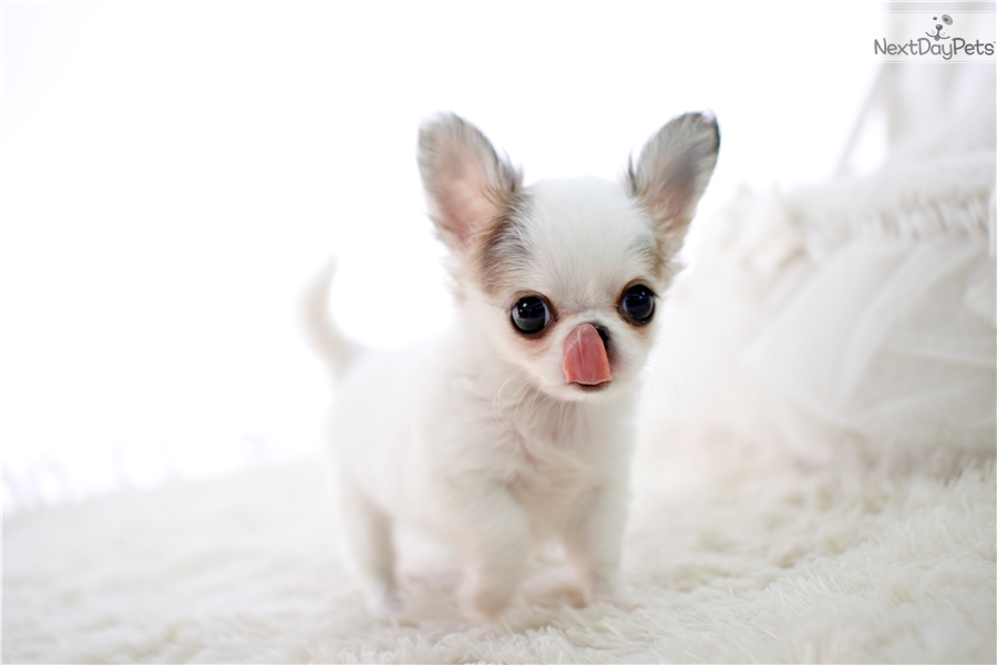 chihuahua puppies available for re-homing