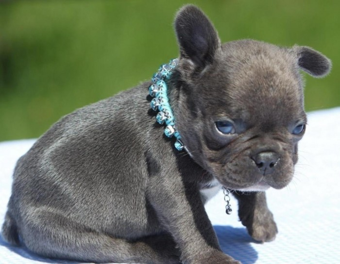 Beautiful French Bulldog Puppies Available
