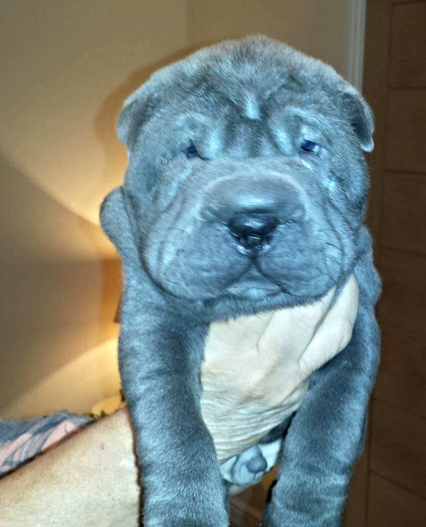 Quality Kennel Club Registered Sharpei  Puppies