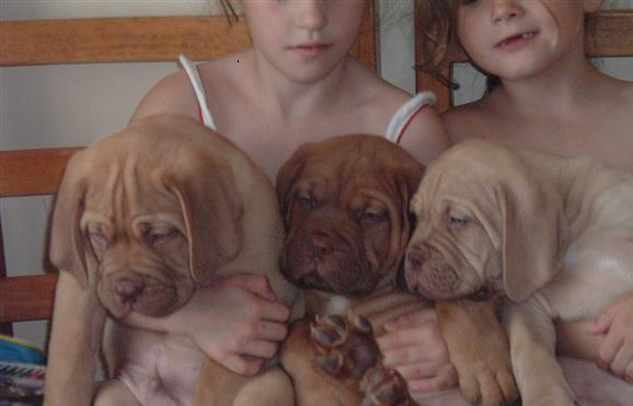 Nine weeks old, Dogue de bordeaux puppies