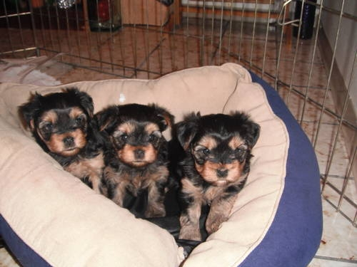 ukc Yorkshire Terrier puppies(3boys and 3gilrs)