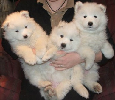 Samoyed puppies-10 weeks old