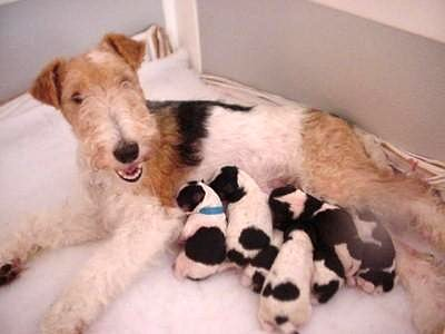Fox terrier puppies