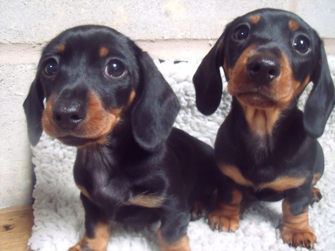 Dachshund miniature puppies