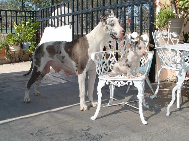 Great Dane puppies!!!Hurry, only 2 males and 2 females Left!!!