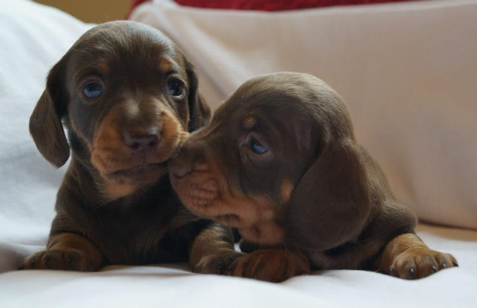 Kc Reg Mini Dachshunds