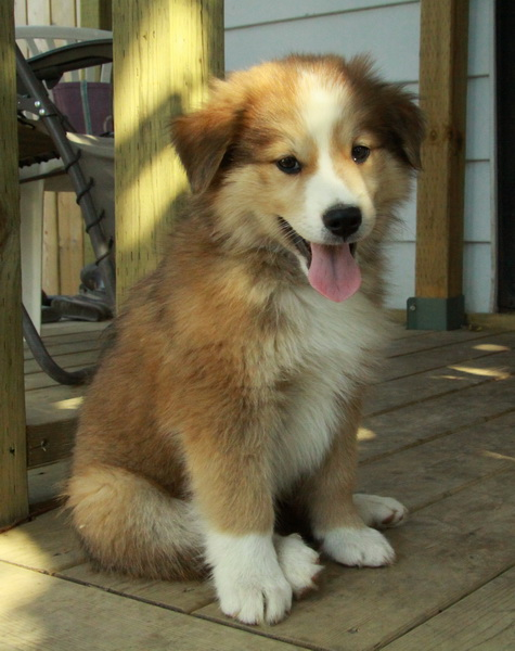 Rough Collie Puppies