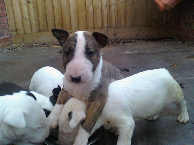 Bullterrier Puppies