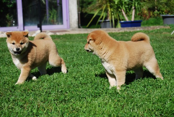 Adorable registered Shiba Inu puppies