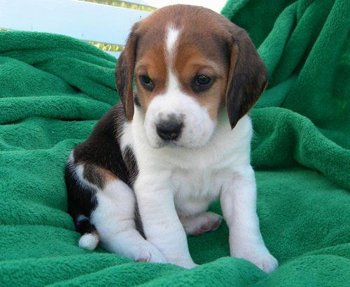 lovely beagle puppies ready for adoption