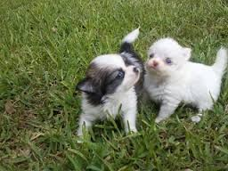 Kennel Club And Pedigree Chihuahua Puppies